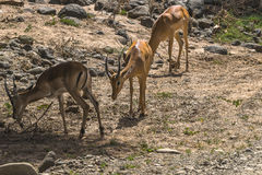 Three antelope Impala in Tanzania Royalty Free Stock Photo