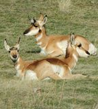 Three antelope lying peacefully on a warm summer day in Central Oregon Royalty Free Stock Image