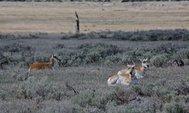 Three antelope. Soak in the days first rays among the sagebrush in Yellowstone National Park Stock Photography