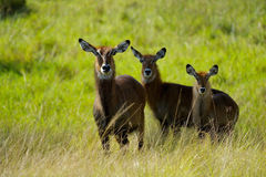 Three antelopes in Africa Royalty Free Stock Images