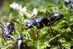 Three ants conspiracy on grass. Three ants consulting on grass Royalty Free Stock Photography