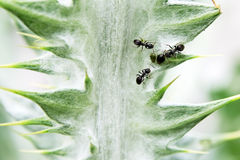 Three ants milking aphids Royalty Free Stock Photography
