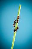 Three ants. Royalty Free Stock Image