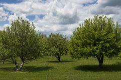 Three Apple Trees in Spring stock photo