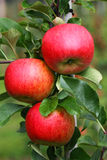 Three apples Royalty Free Stock Image