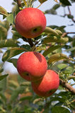 Three apples. Red delicious royalty free stock image