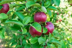 Three apples in an apple orchard royalty free stock image