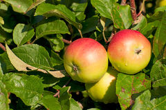 Three apples on the branch of an apple-tree Royalty Free Stock Photography