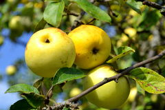 Three apples on a branch. Late autumn apples on a branch Royalty Free Stock Photography