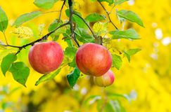 Three apples on a brunch. Ripe crop harvest time in autumn royalty free stock photos