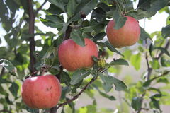 Three Apples Royalty Free Stock Photo