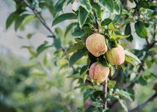 Apples in a tree in an orchard Royalty Free Stock Images
