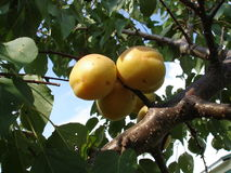 Three apricot fruits on a branch tree Stock Photo