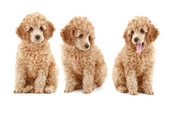 Three apricot poodle puppy Royalty Free Stock Image