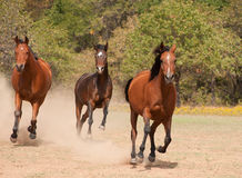 Three Arabian horses racing in the pasture Royalty Free Stock Image