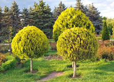 Three arborvitae trees. In the park Stock Photography