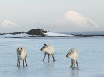 Three Arctic Musketeers, wild reindeers Royalty Free Stock Photo