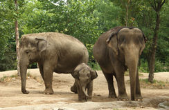 Three Asian Elephants Royalty Free Stock Photo
