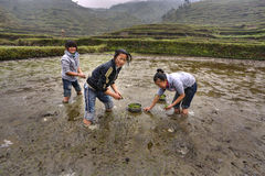 Three Asian girls are busy planting rice Stock Photography