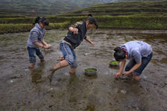 Three Asian teen girl busy planting rice in paddy field. Royalty Free Stock Photos
