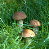 Three aspen mushrooms in a grass Royalty Free Stock Photo