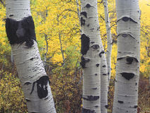 Three Aspens. Trunks of aspen trees and yellow leaves in the background Royalty Free Stock Photography