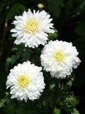 Three asters. Closeup of three white asters Royalty Free Stock Photography