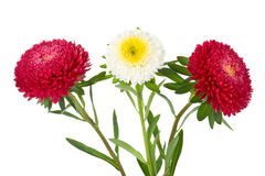 Three Asters Isolated Stock Photos