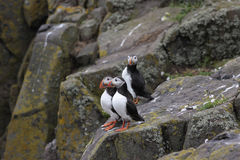 Three atlantic puffins (Fratercula arctica) standing on a rock. Stock Image