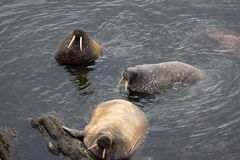 Three Atlantic walrus in shallow waters of Barents sea. Arctic. Three Atlantic walrus in shallow waters of Barents sea. One of them roars and rubs against stone stock photos