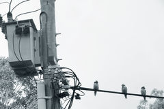 Three Australian Kookaburra`s on power lines Black & White Stock Photography