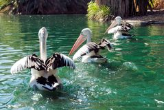 Three Australian Pelicans Stock Photos
