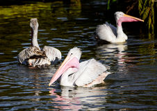 Three Australian Pelicans feeding time on a river Royalty Free Stock Photos