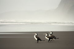 Three Australian Pied Cormorants Royalty Free Stock Images