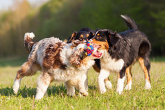 Three Australian Shepherd dogs playing with a toy royalty free stock images