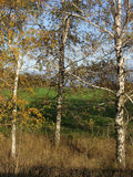Three autumn birch trees in sunlight. Three autumn birch tree with yellow leaves in sunlight Stock Photo
