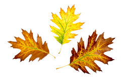 Three autumn colorful oak leaves Stock Photo