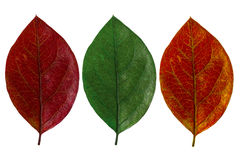 Three autumn leaf Stock Image