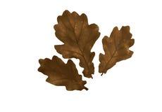 Three autumn leaf of oak tree Royalty Free Stock Images