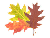Three autumn leaves Stock Photos