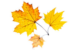 Three autumn leaves. Three yellow autumn leaves isolated Stock Image