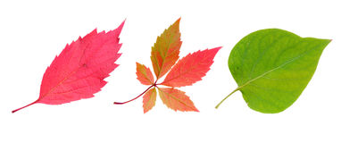 Three autumn leaves Stock Images
