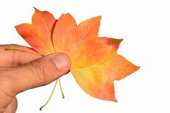 Three autumn leaves, possibly of Acer tree family, held in left hand of mature male person on white background Royalty Free Stock Images