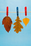 Three Autumn Leaves Suspended From A Clothesline Using Clothepins. Three autumn leaves suspended from a clothesline clothespins on a blue background Stock Images