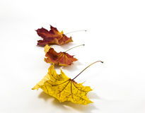 Three autumn leaves on a white background Stock Photo