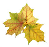 Three autumn maple leaves of different colors on a white backgro. Three autumn maple leaves red, green, yellow, brown and dry leaves on a white background Stock Photography