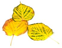 Three autumn multicolored leafs Stock Photography