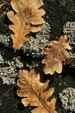 Three autumn oak leaves on old stump with moss Stock Photos