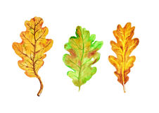Three autumn oak leaves Royalty Free Stock Photos
