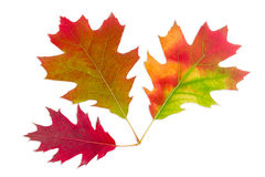 Three autumn red oak leaves on a light background Stock Photography